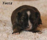 Yucca01