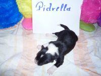 12_Pidrella_1